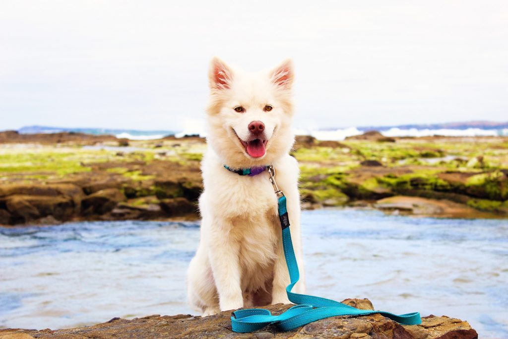 Dog Teal Leash Sits on Rocks